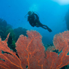 A diver examines a giant sea fan at Uepi Island.